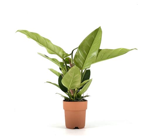 Philodindron_Plantes_Pour_Tous